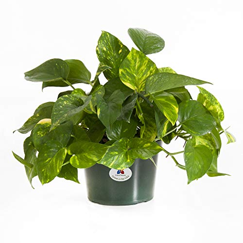 United Nursery Golden Pothos Epipremnum Aureum Devils Ivy Plant Live Indoor Outdoor House Plant Ships in 6 Inch Grower Pot at 10 Inches Tall