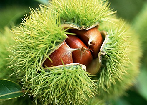 american-chestnut-tree-castanea-5-pot