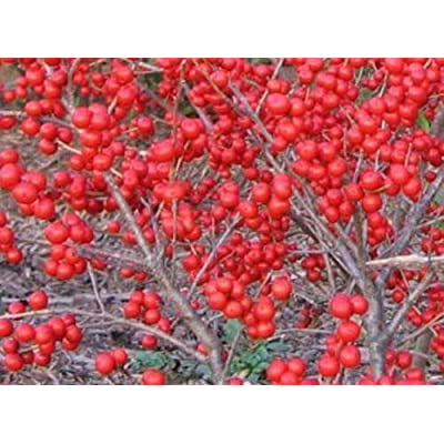 Winterberry Holly Seedling Bright Berries Winter Color Live Plant Hardy : Garden & Outdoor