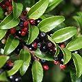 Evergreen Huckleberry Seeds (Vaccinium ovatum) 20+ Medicinal Berry Seeds