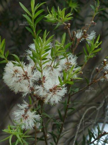 Amazon white feather tree seed good screen showy flowers white feather tree seed good screen showy flowers mightylinksfo