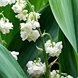 Rare Double Lily of the Valley - Convallaria - SHADE - NEW! - Bare Root