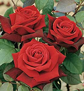 Beautiful 'Deep Secret' Hybrid Tea Rose (Bare Root)