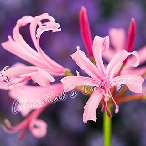 Amazon nerine bowdenii garden bulbs guernsey lily autumn pink nerine bowdenii garden bulbs guernsey lily autumn pink flower perennial corms 2bulbs mightylinksfo