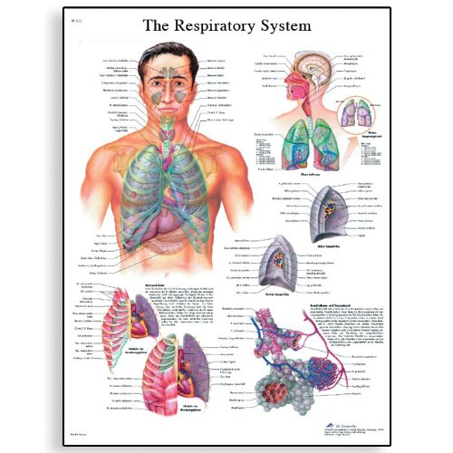 (3B Scientific VR1322L Glossy Laminated Paper The Respiratory System Anatomical Chart, Poster Size 20