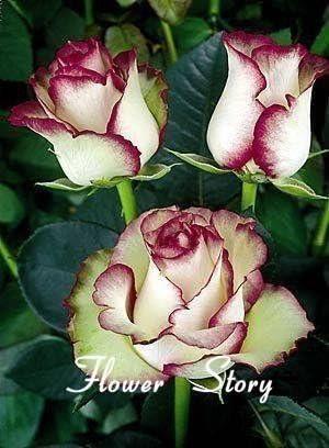 30 Rose Semillas Flor de fuego * Hielo Rose fuentes de DIY hermosas del jardín de flores de semillas de mini Pot Balcón Patio Bonsai: Amazon.es: Jardín