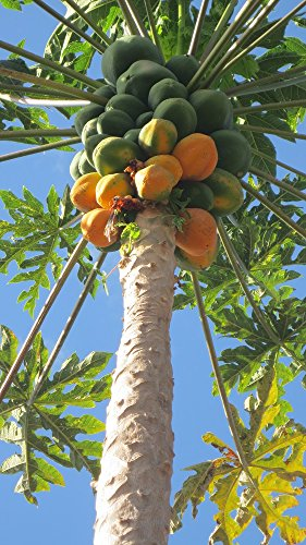 Papaya 10 Seeds/Seed - Carica papaya - Fruit