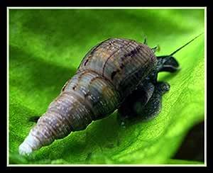 One Stop Aquatics Malaysian Trumpet Snails (MTS) from Shrimp Boutique