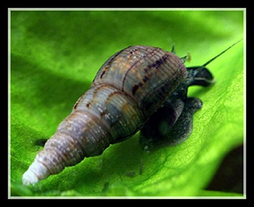 Malaysian Trumpet Snails (MTS) from One Stop Aquatics (6 Snails) by One Stop...