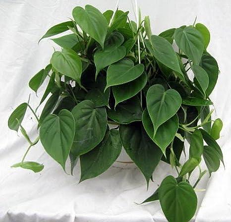 Heart Leaf Philodendron Cordatum 2 Plantas Planta De Interior Más Fácil Del Mundo Macetas De 3 0 In Jardín Y Exteriores