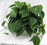 Heart Leaf Philodendron - Easiest House Plant to