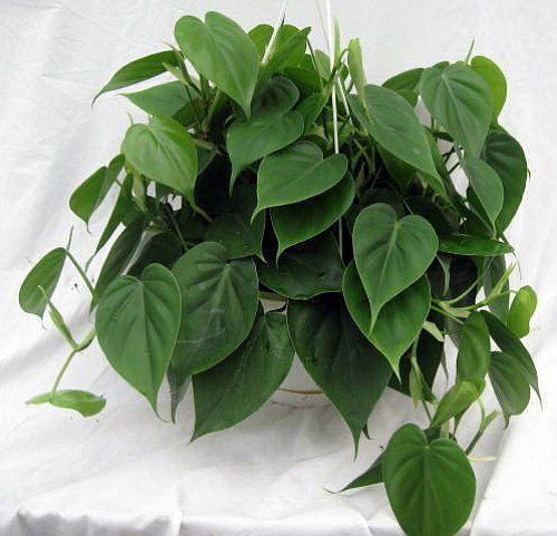 heart leaf philodendron easiest house plant to grow 4 pot live plant buy online in uae. Black Bedroom Furniture Sets. Home Design Ideas