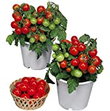 Harley Seeds 30+ Dwarf Red Robin Tomato Seeds Heirloom Non-GMO, Sweet, Low Acid, Determinate, Open-Pollinated Profilic