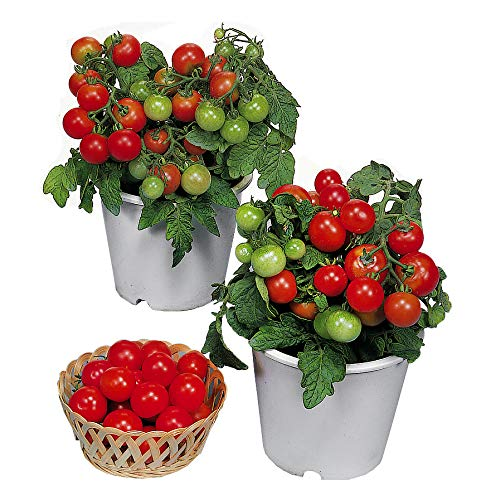 30+ ORGANICALLY Grown Dwarf Red Robin Tomato Seeds, Heirloom Non-GMO,...