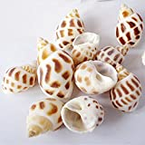 2.5cm Sea Shells Beach Seashells 50pcs/pack