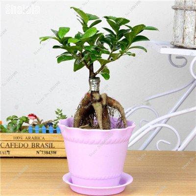 Garden Decoration Plant Miniature Banyan Tree Seeds Perennial Tree Bonsai Ficus Ginseng China Indoor Ornamental Plants 50 ()