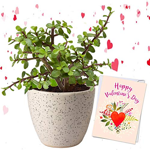 Abana Homes® Valentine Gift Good Luck Jade Plant in Ceramic Pot (B07R83TY7J) Amazon Price History, Amazon Price Tracker