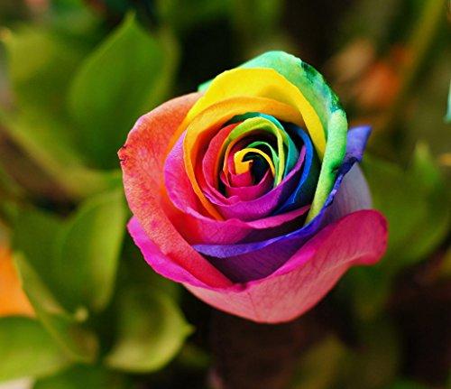 20 Rainbow Rare Rose Seeds Fresh Exotic Rose Flower Seeds Multicolor ()