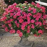 Vinca - Cora Cascade Cherry F1 - Cherry Red Flower Seeds - 100 Seeds