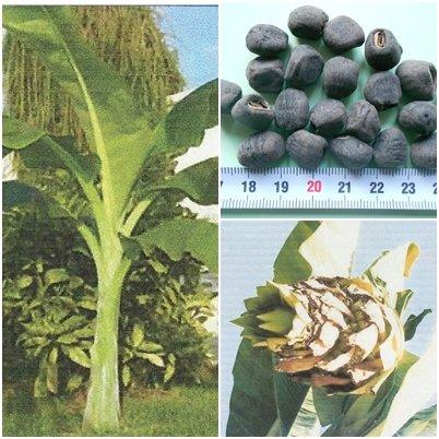 Banana Seed - 1