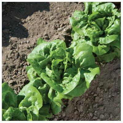 HeirloomSupplySuccess 100 Heirloom Butter Crunch Lettuce Seeds : Garden & Outdoor