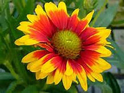 Amazon gaillardia aristata blanket flower hardy live perennial gaillardia aristata blanket flower hardy live perennial flower plants cut flowers 6 mightylinksfo