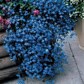 Lobelia Fountain Blue Nice Garden Flower Seeds by Seed Kingdom Bulk 20,000 Seeds