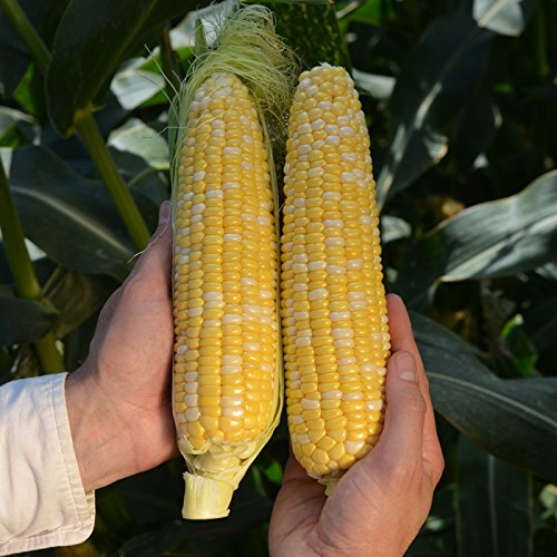 Sweet Corn Rosie - Insect Guard Treated Seed - Quality Elite - 50,000 Seeds by GardenTrends