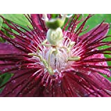 "9GreenBox - Lady Margaret Passion Flower - 4"" Pot"