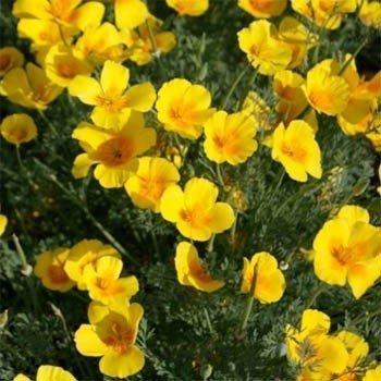 (Outsidepride California Poppy Golden West - 5000 Seeds)