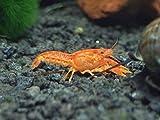 Aquatic Arts CPO Crayfish - Live Freshwater