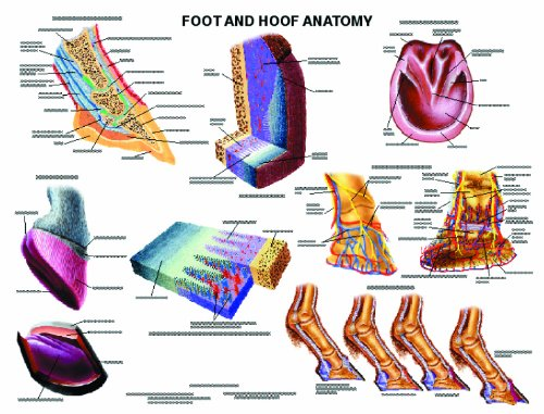 Equine Anatomy Charts Complete Set Of 13 Charts Special Offer