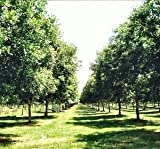 AMLING PECAN TREE - Size: 5 Gallon, live plant, includes special blend fertilizer & planting guide