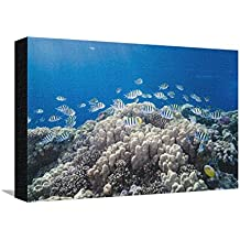 School of Sergeant Major Fish over Pristine Coral Reef, Jackson Reef, Off Sharm El Sheikh, Egypt Stretched Canvas Print by Mark Doherty - 18 x 12 in