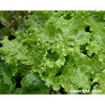 Certified Organic Black-Seeded Simpson Lettuce Seeds - 1000+ Seeds