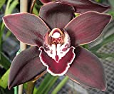 Orchid Insanity – Koushu Fire – exciting dark red maroon flower vigorous hardy top-shelf Japanese breeding floriferous Cymbidium EASY TO GROW