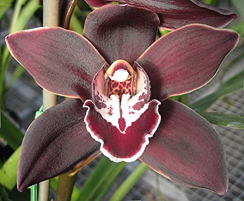 Orchid Insanity – Koushu Fire – exciting dark red maroon flower vigorous hardy top-shelf Japanese breeding floriferous Cymbidium EASY TO GROW