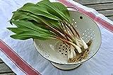 "20 Wild Leek Seed,Ramp,Allium tricoccum""Best Tasting Member Of The Onion Family"