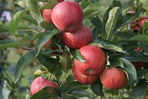 kleinbleibend Buschbaum Herbstapfel 120-140cm im Topf Gala