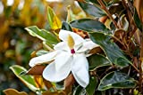 Bracken's Brown Beauty Magnolia (4-5 feet) Live Plant, Includes Special Blend Fertilizer and Planting Guide - Fragrant White Flowers - Compact Accent Tree