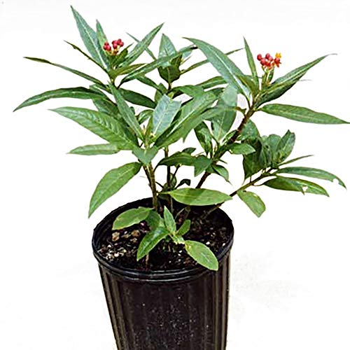 - Educational Science Milkweed Plant, Asclepias curassavica, live plant, Ship ASAP, BF100A