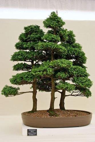 Tree Seeds - 50 Seeds of Hinoki Cypress, Chamaecyparis Obtusa (Evergreen, Bonsai) ()