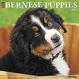 Just Bernese Mountain Puppies 2020 Calendar