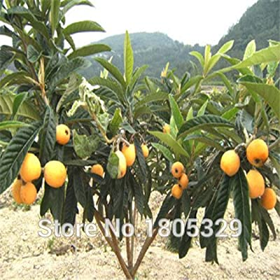 2015 Bonsai loquat Seeds 20pcs multi-Colored fruit Seeds Novel Plant for DIY Garden : Garden & Outdoor