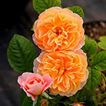 Tulas 100 Pcs/Set Climbing Rose Seeds Perennial Fragrant Home Garden Plant Multiflora Flower Seed