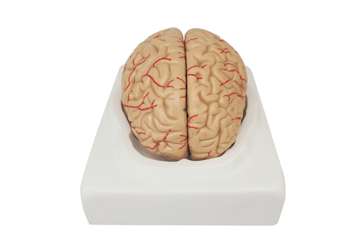 Medical Anatomical Brain Model with Arteries, 9 Parts, Life Size Med Source Direct UL009