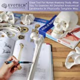 Disarticulated Human Skeleton Model for Anatomy 67