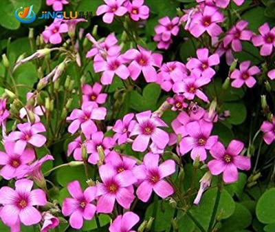 50 Pcs / Bag, Oxalis Seeds, Diy Potted Plants, Indoor / Outdoor Pot Seed Germination Rate of 95% Mixed Colors