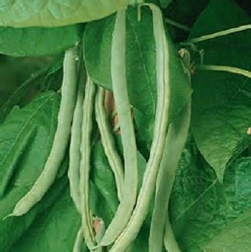 (Heirloom Missouri Wonder Pole Bean Seeds. Yields Several Pounds Per Plant. Hard to Find )
