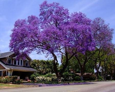 Amazon Com Agrobits Royal Empress Tree 300 Seeds Stunning Purple